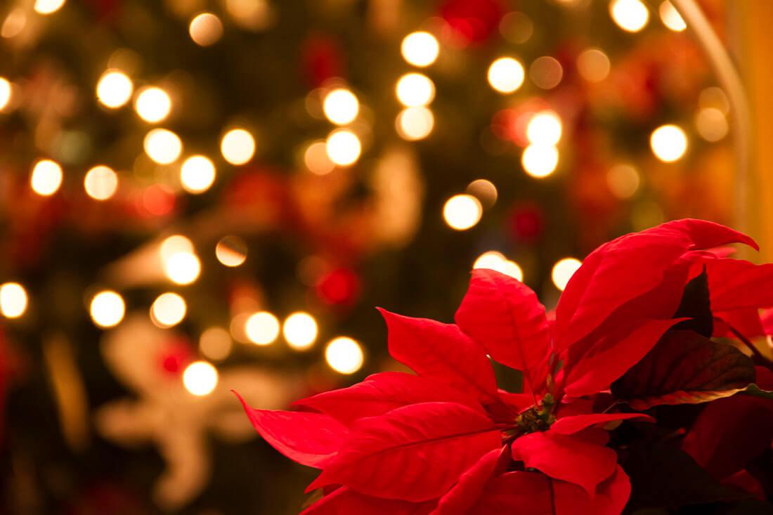 「花のあるクリスマス。」ポインセチアの手入れ方法
