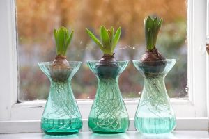 冬を彩るインテリア!色と香りを楽しむヒヤシンスの水栽培