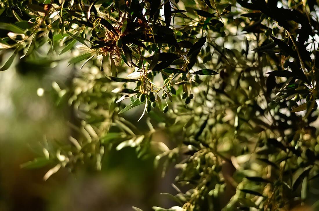 【オリーブ】冬の寒さに負けない観葉植物と、冬越しのポイント