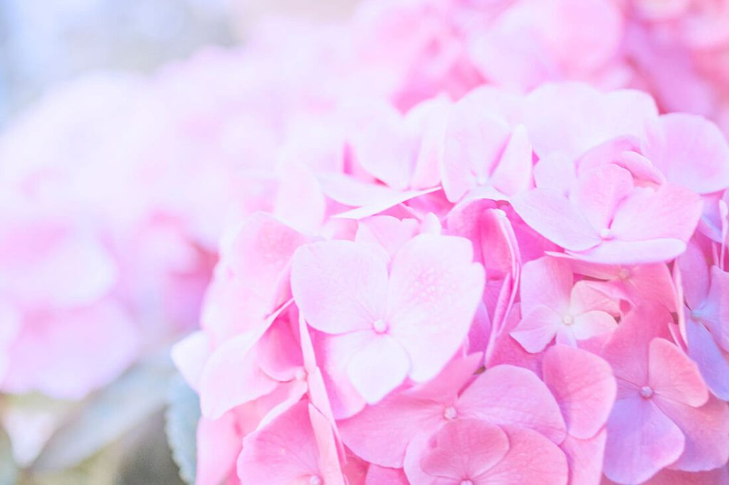 紫陽花(あじさい)の花言葉-おすすめ色をシーン別に解説