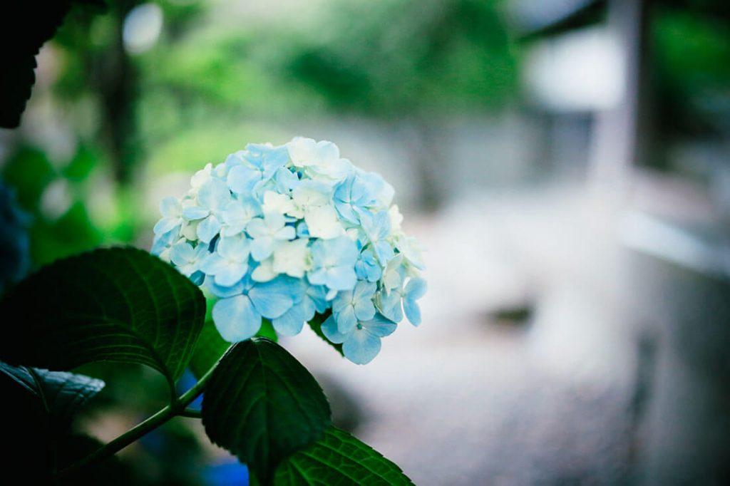 英語で紫陽花を何と言う?語源や由来をわかりやすく解説