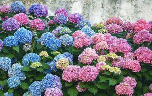 紫陽花の色の違い、どうして出るの?白が白い理由は?