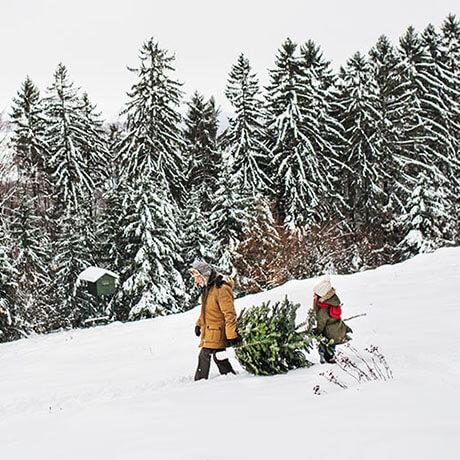 オレゴン産モミの木Oregon Abies Firma / 100cm(3feet)