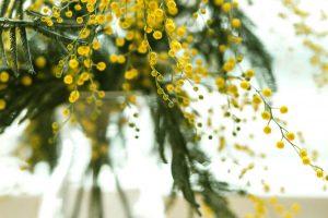 【春の花ミモザ】ミモザの日の由来,育て方,リースの作り方徹底解説